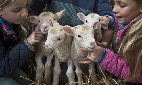 elimina la crudele usanza di ammazzare i giovani agnellini!