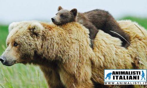 Animalisti Italiani in Tribunale a Trento per le orse Daniza e Kj2, vittime della crudeltà umana