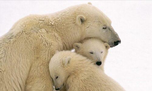 Sabato 27 febbraio è la Giornata Mondiale dell'Orso Polare